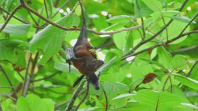 Flying fox hangs on a tree branch and eat fruit. Lyle's flying fox (Pteropus lylei) hangs on a tree branch and eat fruit stock video