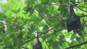 Flying fox hangs on a tree branch and washes stock video footage