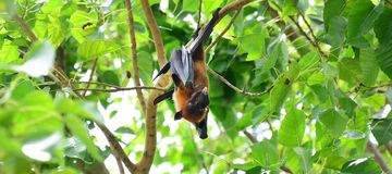 A flying fox hangs upside down in a tree and shows its tongue