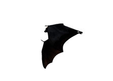 Flying fox - huge bat isolated on white background Stock Image