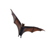 Flying fox - huge bat isolated on white background. Flying fox - huge bat isolated on a white background royalty free stock images