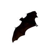 Flying fox - huge bat isolated on white background Stock Photography
