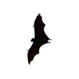 Flying fox - huge bat isolated on white background Stock Images