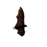 Flying fox - huge bat isolated on white background Royalty Free Stock Photography