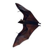 Flying fox - huge bat on white background Stock Images