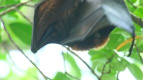 Flying fox stock video footage