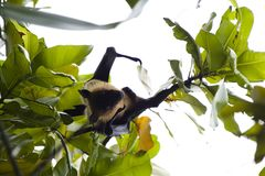 Flying Fox, Maledives. Little curious Flying Fox Pteropus gigantens Ariel Royalty Free Stock Photography