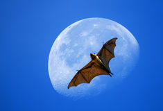 Flying fox on the moon Royalty Free Stock Photography