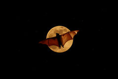 Flying fox at night. Halloween night with bat flying over the moon Stock Photos
