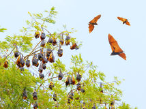 Flying Fox. Royalty Free Stock Images