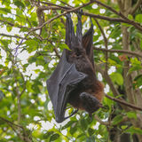 Flying Fox (Pteropus) Royalty Free Stock Photo