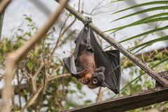 Flying Fox (Pteropus) Royalty Free Stock Images
