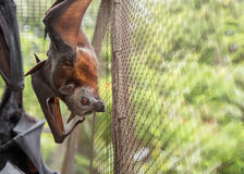 Flying Fox Rescue & Rehabiliation Royalty Free Stock Photo
