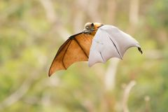 Flying Fox Suspended in Mid Air. Close up of a grey headed flying fox as it flies through the air. Shot taken in Melbourne, Australia Stock Image