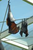 Flying fox - upside down. Flying fox hanging from the ceiling stock photo