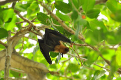 Flying Fox Royalty Free Stock Image