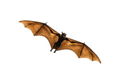 Flying fox. Stock Photo