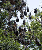 Flying foxes Stock Images