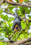 Flying foxes Royalty Free Stock Photography