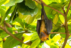 Flying foxes Royalty Free Stock Images