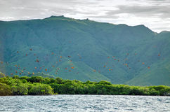 Flying foxes on the background of mangroves. Stock Photos