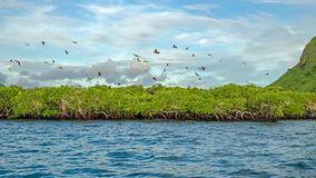 Flying foxes on the background of mangroves. Royalty Free Stock Photos