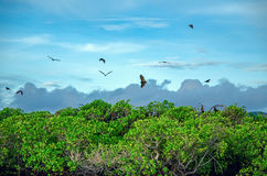 Flying foxes on the background of mangroves. Royalty Free Stock Photography