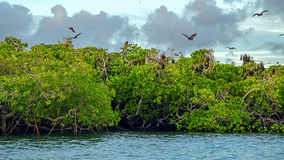 Flying foxes on the background of mangroves. Stock Photography
