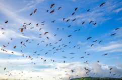 Flying foxes on the background of mangroves. Stock Image