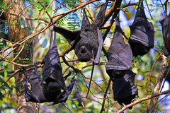 Flying Foxes - bat hanging on a tree branch Stock Image