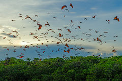 Flying foxes Royalty Free Stock Image