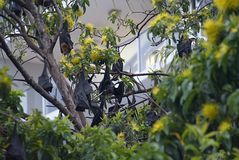 Flying Foxes of Cairns Royalty Free Stock Image