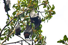 Flying foxes colony Stock Photo