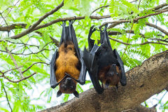 Flying foxes couples Royalty Free Stock Photography
