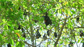Flying foxes stock video footage