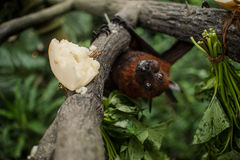 Flying foxes , flying fox , Pteropus Royalty Free Stock Photos