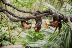 Flying foxes , flying fox , Pteropus Stock Photos