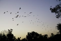 Flying foxes fruit bats fly in orderly column stock images