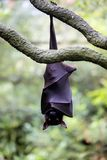 Flying foxes gold resting on a branch hanging. The Flying foxes gold resting on a branch hanging Stock Image