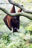 Flying foxes gold resting on a branch hanging. The male Flying foxes gold resting on a branch hanging Royalty Free Stock Photography
