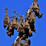 Flying foxes hanging on a branch of a tree Royalty Free Stock Images