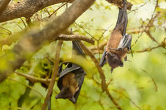 Flying foxes hanging Royalty Free Stock Images
