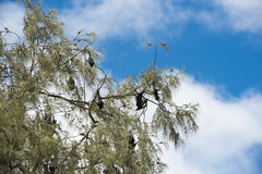Flying Foxes hanging in a Tree Royalty Free Stock Image