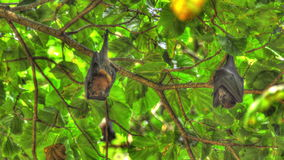 Flying foxes hangs on a tree branch and washes stock footage