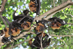 Flying Foxes In Thailand Stock Photos