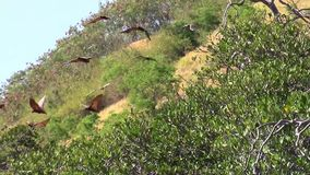 Flying foxes over Riung mangrove stock video footage