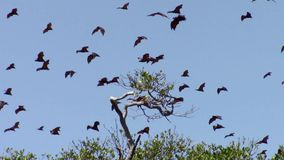 Flying foxes over Riung mangrove