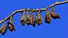 Flying foxes resting on a branch of a tree Royalty Free Stock Photography