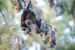 Flying foxes roosting. The grey-headed flying fox (Pteropus poliocephalus) is a megabat native to Australia. These fruit bats can cover up to 50 kilometres per Royalty Free Stock Images