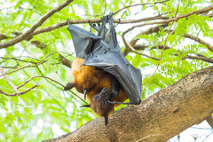 Flying foxes Royalty Free Stock Photos